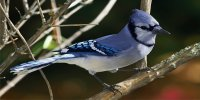 Blue Jay Photo License Plate