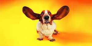 Basset Hound Floppy Ears Photo License Plate