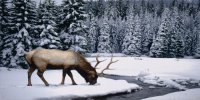 Elk In The Snow Photo License Plate