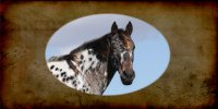 Appaloosa Horse Photo License Plate