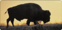 Bison Buffalo At Sunset Photo License Plate