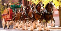 Clydesdales Pulling Wagon Photo License Plate