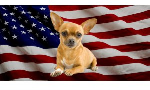 Chihuahua Dog On United States Flag Photo License Plate