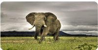 Elephant Strolling The Plains Photo License Plate
