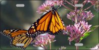 Monarch On Flower Metal License Plate