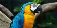 Blue Macaw Photo License Plate