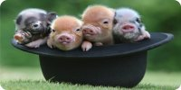 Baby Pigs In Hat Photo License Plate